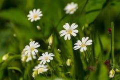 Весна луга белых цветков Стоковая Фотография RF