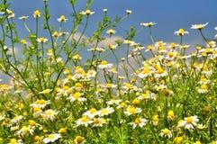 весна лужка маргариток предпосылки красивейшая Стоковые Фото