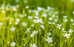 весна лужка маргариток предпосылки красивейшая Стоковое Фото