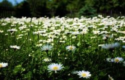 весна лужка маргариток предпосылки красивейшая Стоковые Фотографии RF