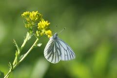 весна Украина природы одуванчиков крупного плана Стоковые Изображения RF