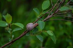 Весна Улитка на зеленой ветви после дождя стоковые изображения rf