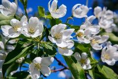весна фото сада цветения яблока Стоковые Изображения