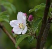 весна фото сада цветения яблока Стоковые Фото