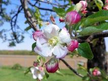 весна фото сада цветения яблока Стоковое Фото