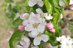 весна фото сада цветения яблока Стоковые Изображения RF