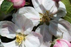 весна фото сада цветения яблока Стоковая Фотография RF