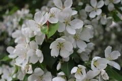 весна фото сада цветения яблока Стоковые Фотографии RF