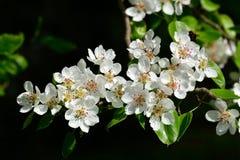Весна Цветения груши Стоковые Изображения