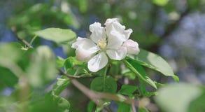 Весна, цветения Яблока, белизна, розовый солнечный свет цветков Стоковые Изображения