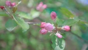 Весна, цветения Яблока, белизна, розовый солнечный свет цветков Стоковое фото RF