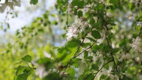 Весна, цветения Яблока деревьев, белизна, розовый солнечный свет цветков Стоковое Фото