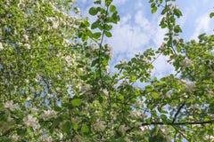 Весна, цветения Яблока деревьев, белизна, розовый солнечный свет цветков Стоковые Изображения