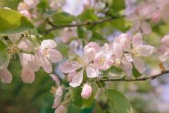 Весна, цветения Яблока, пастель розового солнечного света цветков ретро Стоковое Изображение RF