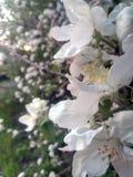 Весна, цветеня дерева Цветок на запачканной предпосылке Стоковое Фото
