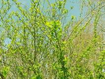 весна цветеня Стоковое Изображение