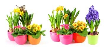 Весна цветет белые daffodils primulas гиацинта предпосылки стоковое изображение rf