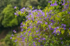 Весна цветет куст - фиолетовый цвет стоковое фото