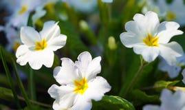 Весна цветет очаровательный белый первоцвет вечера стоковое фото rf