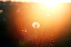Весна цветет одуванчик Стоковое Изображение RF