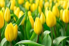 Весна цветет пук Красивый желтый букет тюльпанов Стоковые Фотографии RF