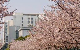 Весна цветет серия, вишневый цвет в университете Tongji Стоковое Изображение