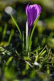 Весна цветет Krokusse Стоковые Изображения