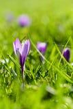 Весна цветет Krokusse Стоковые Фотографии RF