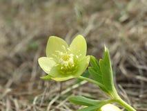 весна цветка зеленая Стоковая Фотография
