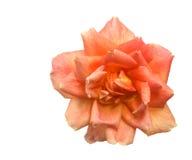 весна цветка розовая Стоковая Фотография
