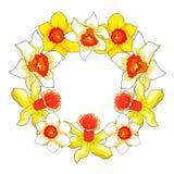 Весна цветка daffodil также вектор иллюстрации притяжки corel Стоковые Изображения RF