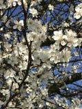 весна цветка dof конца цветения азалии отмелая вверх Стоковые Изображения