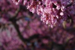 весна цветка dof конца цветения азалии отмелая вверх Стоковая Фотография