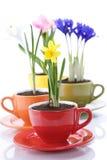 весна цветков чашки растущая Стоковое Фото