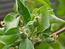 весна яблока Стоковые Изображения RF