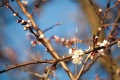 Весна Яблони в цветении Цветки яблока белые цветеня blossoming поднимающего вверх дерева близкое Красивое дерево абрикоса весны с Стоковые Изображения