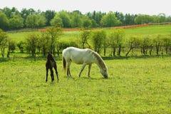 весна 2 конематки лошадей новичка Стоковое фото RF