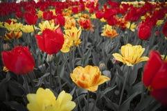 Весна b/w тюльпанов Стоковое Изображение RF