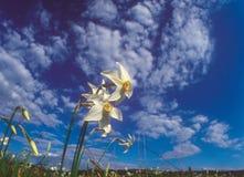 весна daffodils Стоковое фото RF