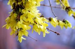 весна forsythia Стоковые Фотографии RF