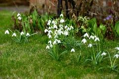 Весна Galanthus Стоковая Фотография