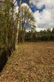 весна latvian ландшафта берез Стоковая Фотография