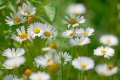 весна marguerite цветков цветений стоковые фотографии rf