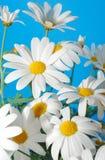 весна marguerite стоковая фотография rf