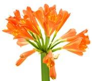 весна miniata лилии kaffir цветка clivia Стоковые Фото