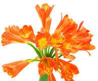 весна miniata лилии kaffir цветка clivia Стоковое Изображение