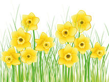 весна narcissus иллюстрации Стоковое Изображение RF