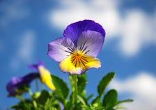 весна pansies Стоковые Изображения RF