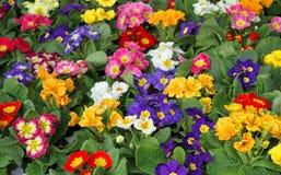 Весна primula много цветков в оптовой продаже 2 стоковая фотография rf