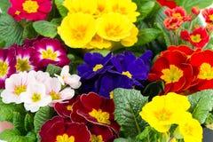 весна primula цветастых цветков свежая Стоковое Изображение